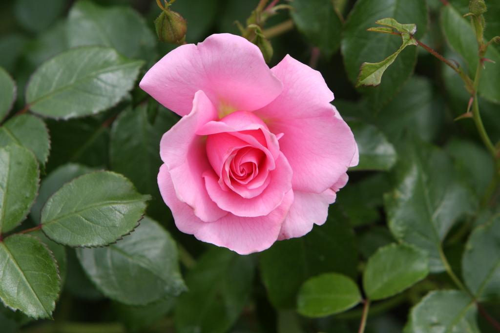 薔薇 0784