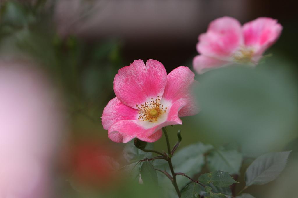 薔薇 0801