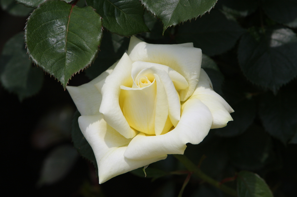 薔薇 0671