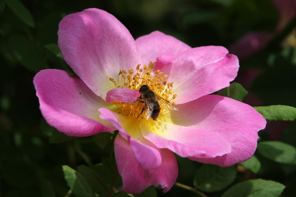 薔薇 0747