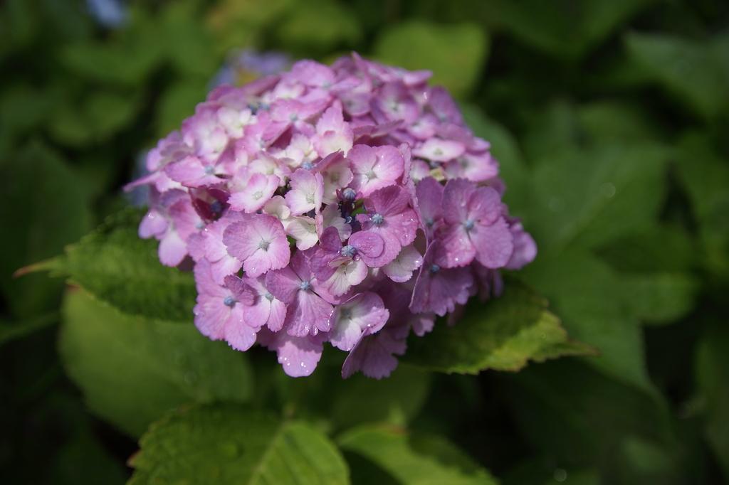 紫陽花01