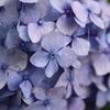 紫陽花02