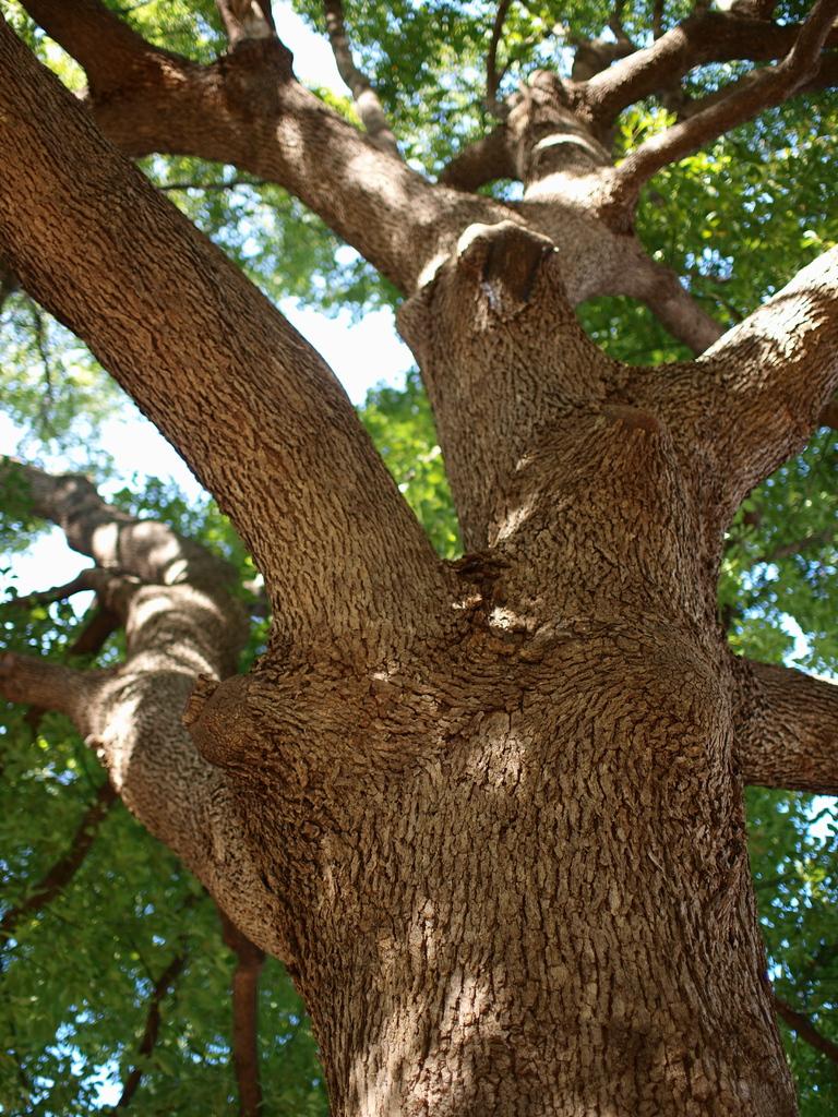 大木って良いですよね