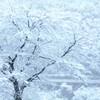 冬に咲く桜