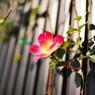 NIKON NIKON D60で撮影した植物(rose)の写真(画像)