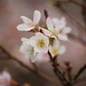 NIKON NIKON D60で撮影した植物(冬さくら)の写真(画像)
