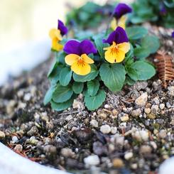 NIKON NIKON D60で撮影した植物(すみれ)の写真(画像)