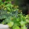 NIKON NIKON D60で撮影した植物(アイビー)の写真(画像)
