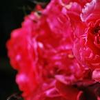 NIKON NIKON D60で撮影した植物(秋薔薇)の写真(画像)