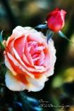 Dear roses,