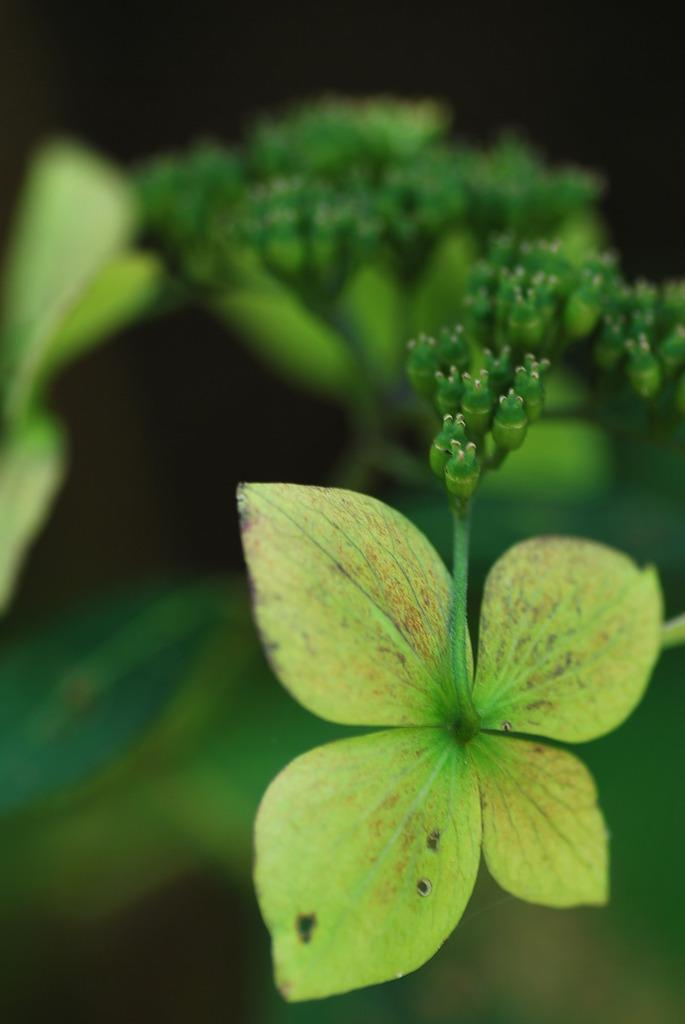 季節外れの額紫陽花