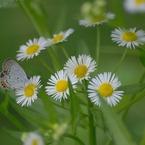 NIKON NIKON D60で撮影した植物(シジミチョウ)の写真(画像)