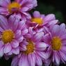 NIKON NIKON D60で撮影した植物(菊)の写真(画像)