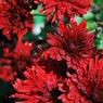NIKON NIKON D60で撮影した植物(朝露と菊)の写真(画像)