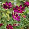 その他のカメラメーカー その他のカメラで撮影した植物(コスモス)の写真(画像)