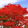 真っ赤な木
