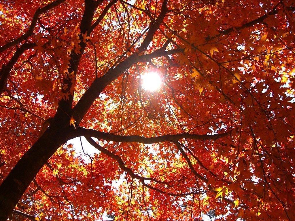 降り注ぐ紅葉