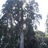 霧島神宮の大木