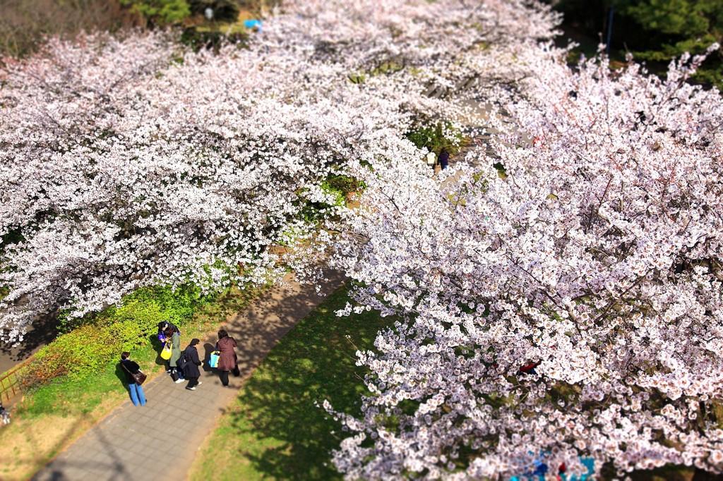 野島公園の桜