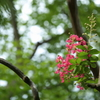 百日紅、咲き始める季節