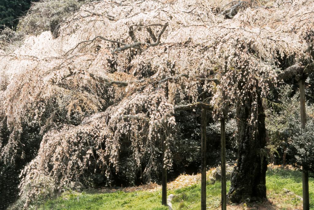 長興山 枝垂れ桜