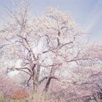 CANON F-1で撮影した風景(桜2010 二宮 吾妻山)の写真(画像)