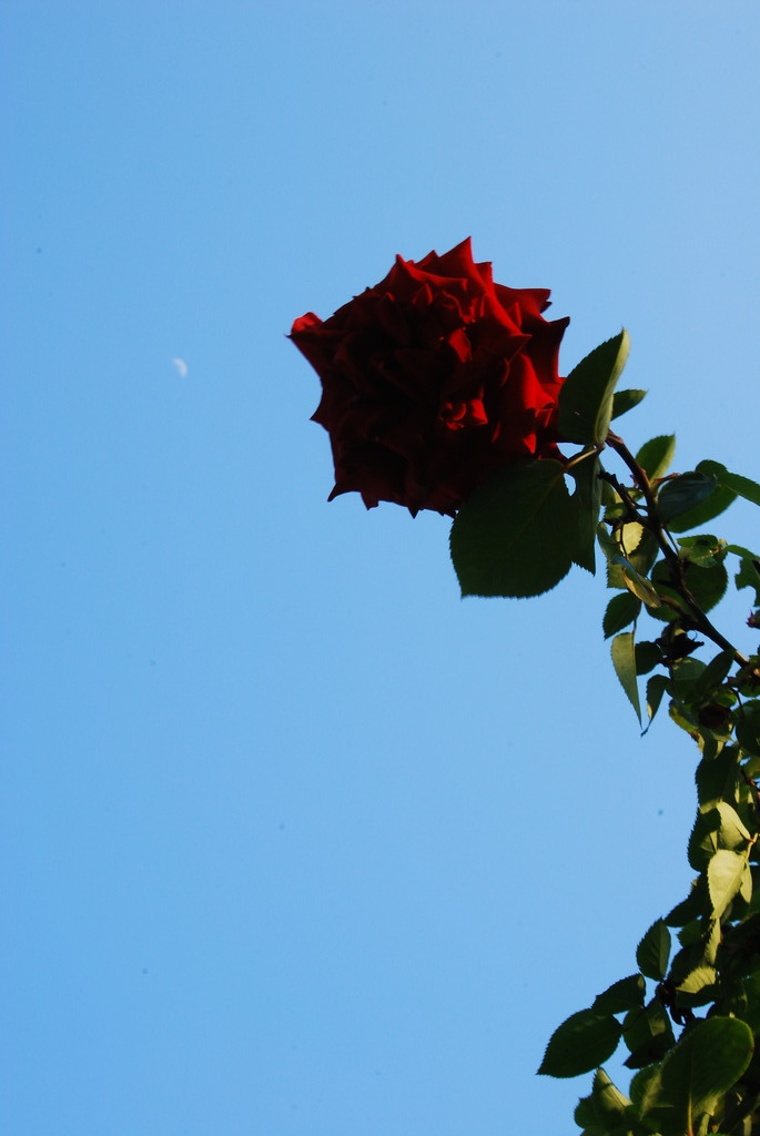 Rose saurus