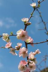 ボケの花天に咲く