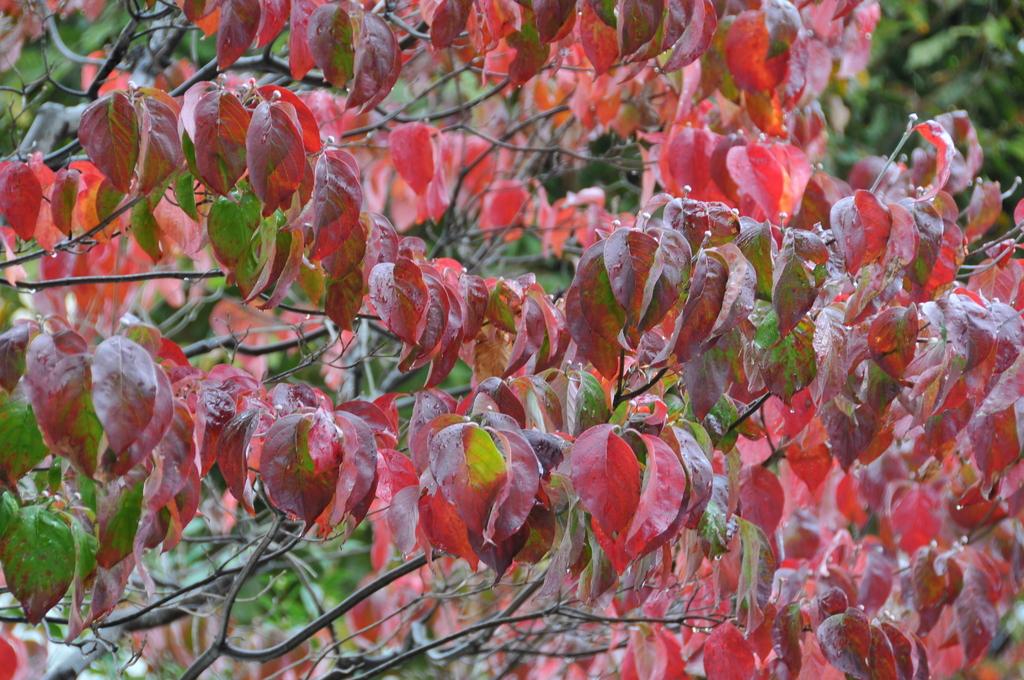 雨に濡れた赤い葉