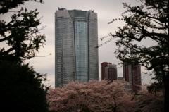 六本木ヒルズの桜