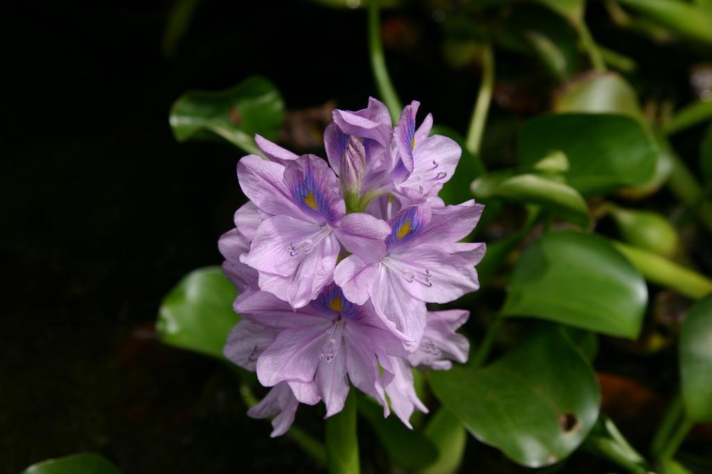 ホテイアオイ(?)の花