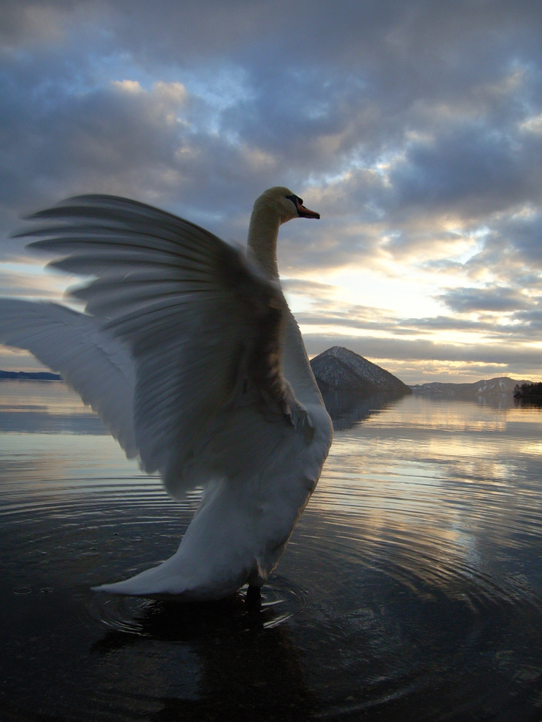 洞爺湖と白鳥②