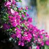 Bougainvilleae の咲くころ