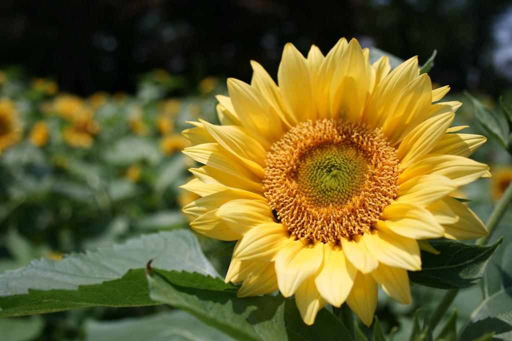 花壇の向日葵