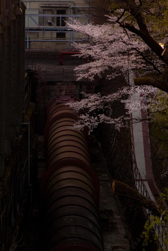 水圧鉄管と桜