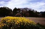 菜の花の落柿舎