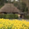 菜の花と落柿舎