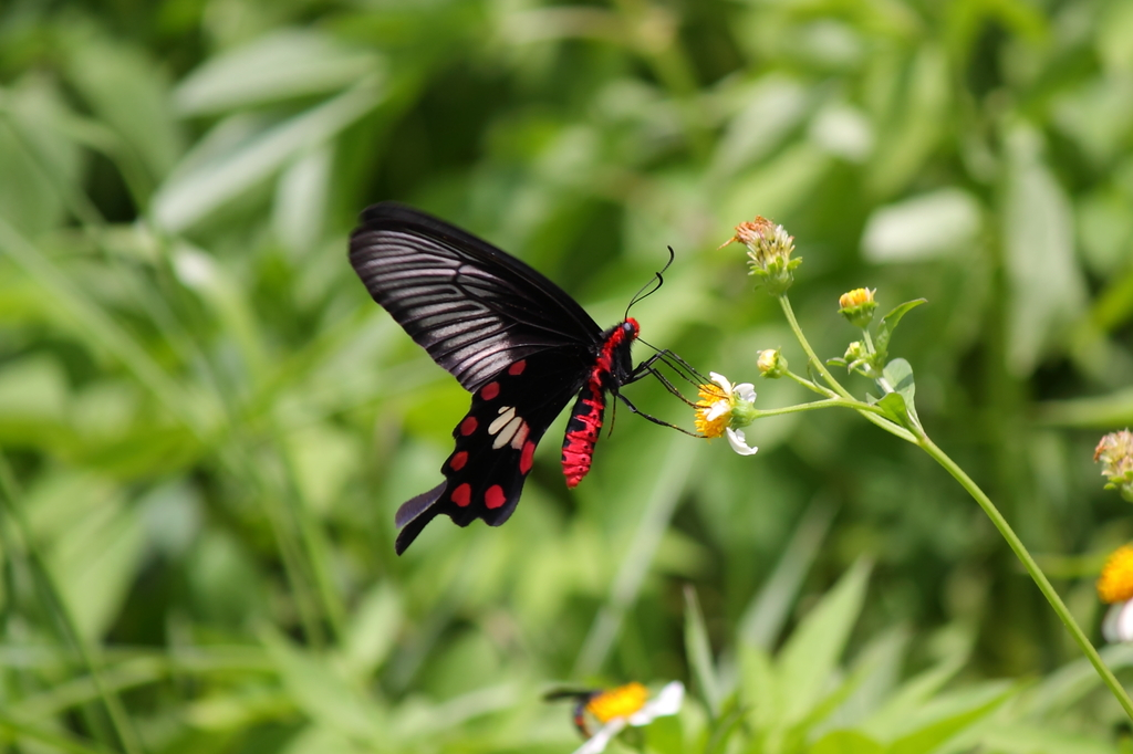 長間浜の蝶(宮古島/来間島)