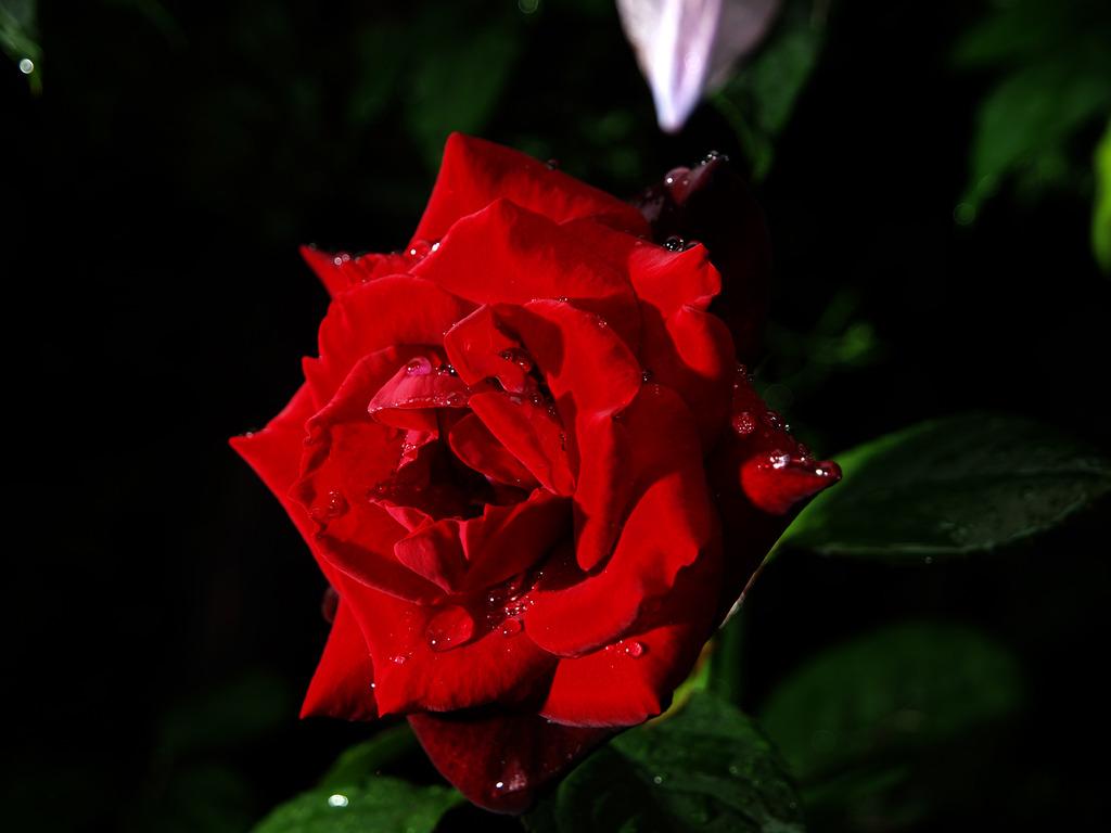 雨月の薔薇