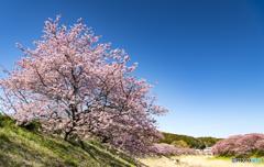 ①みなみの桜 2018