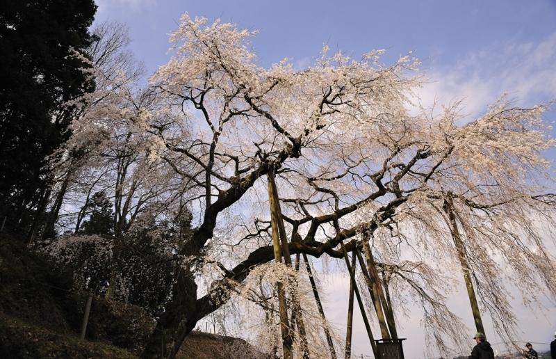岡崎垂れ桜