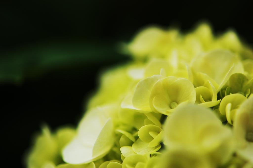 今時の紫陽花