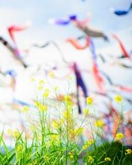 菜の花 と鯉のぼり