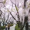 桜の並木の下で