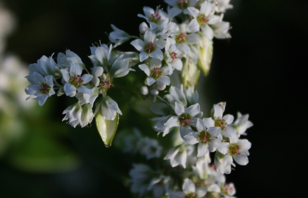 可憐な蕎麦の花