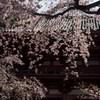 秀吉公も愛でた桜
