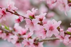 桃の花、満開
