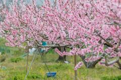 お迎え途中の桃畑