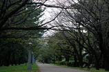 春まで坊主。春には桜が満開。