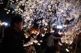 ライトアップされた桜に感激